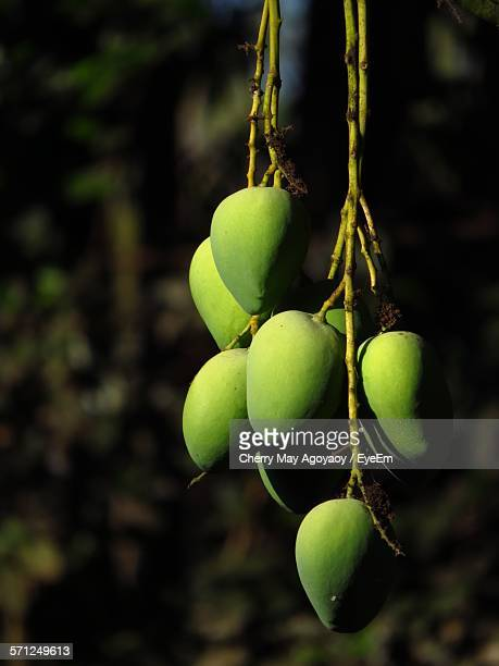 Close-Up Of Mangoes Hanging On Tree