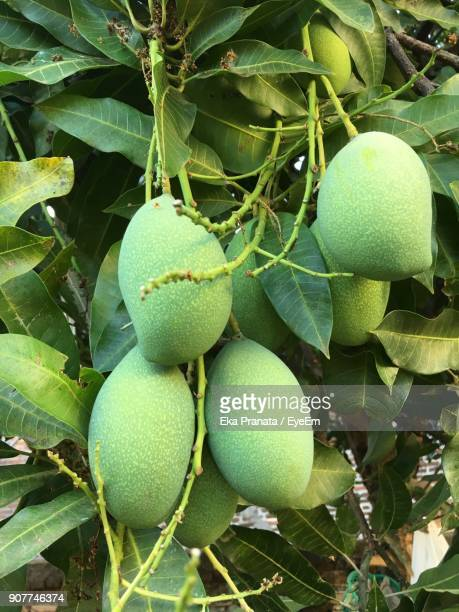 close-up of mangoes on tree - unripe stock photos and pictures