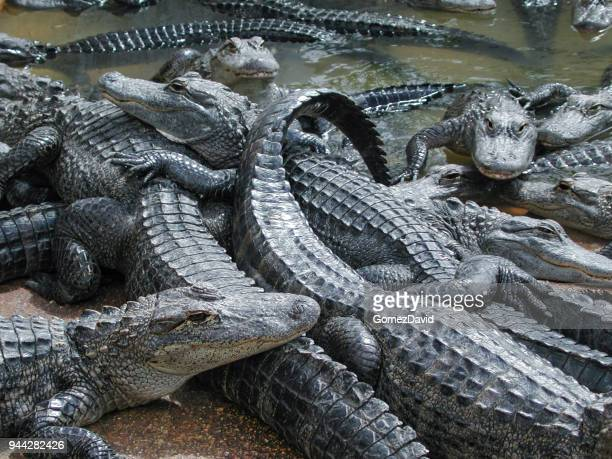 Close-up of Many Large Captive Alligators