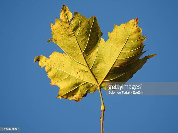 close-up of maple leaf against clear blue sky - solomon turkel stock pictures, royalty-free photos & images