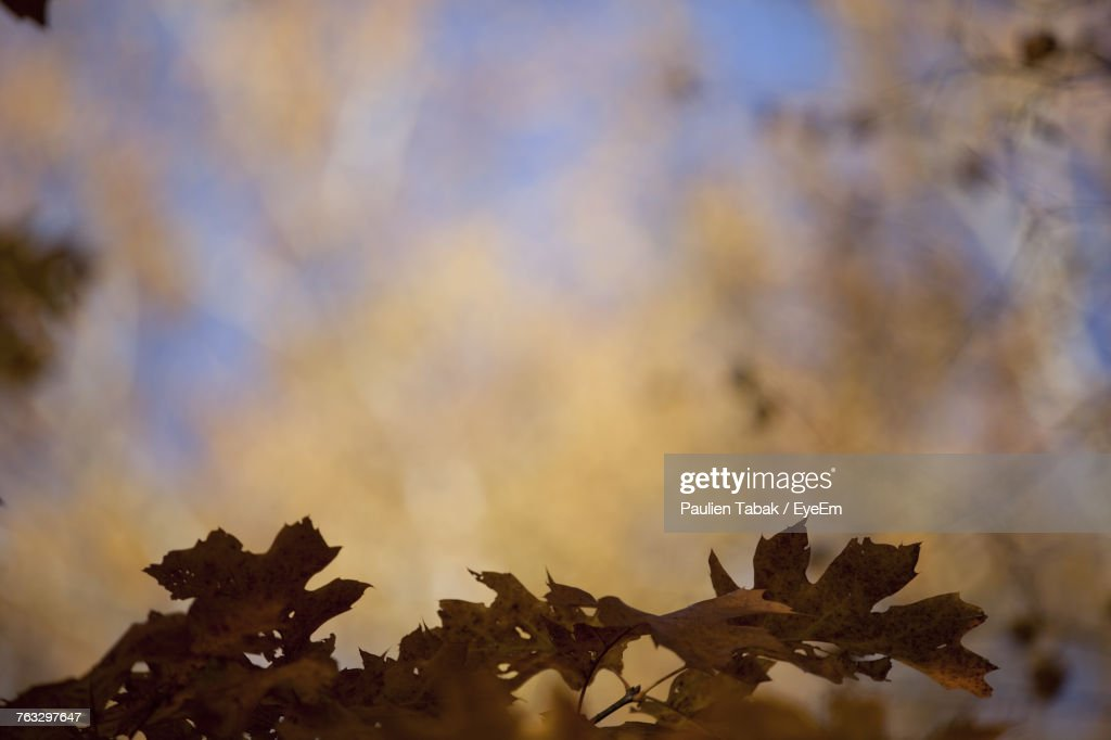Close-Up Of Maple Leaf Against Sky : Stockfoto