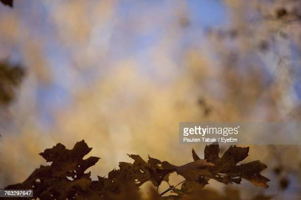 close-up of maple leaf against sky - paulien tabak photos et images de collection