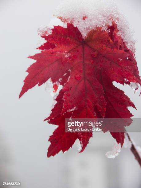 Close-Up Of Maple Leaf During Autumn
