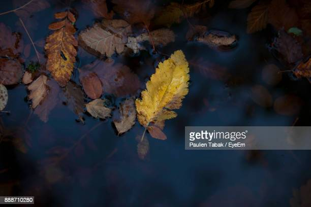 close-up of maple leaf during autumn - paulien tabak foto e immagini stock