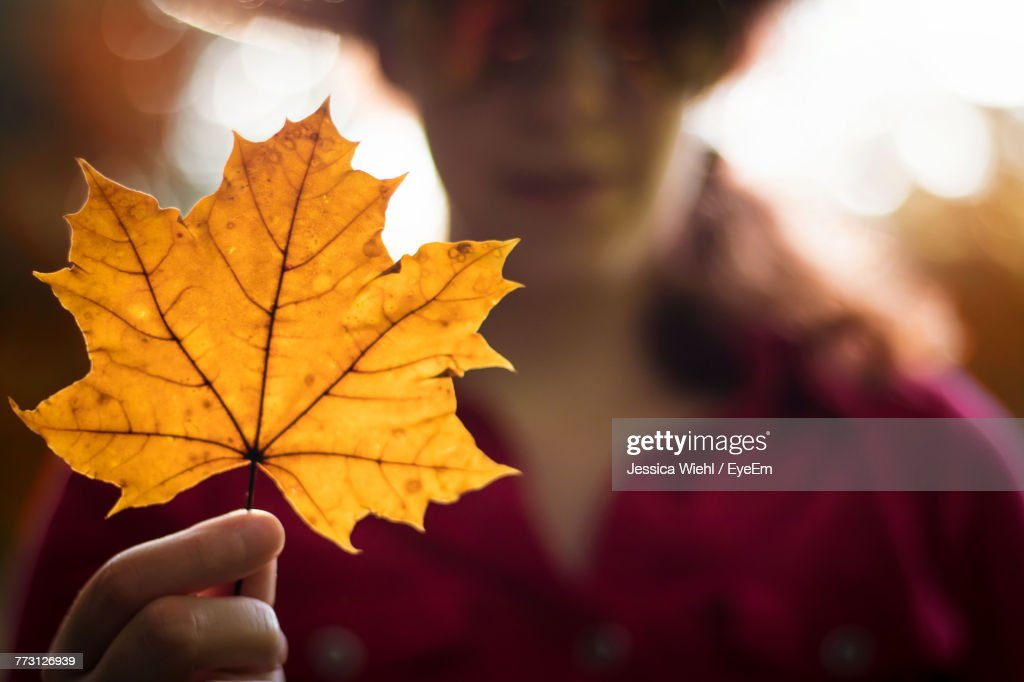 Close-Up Of Maple Leaf Held By Woman : Photo