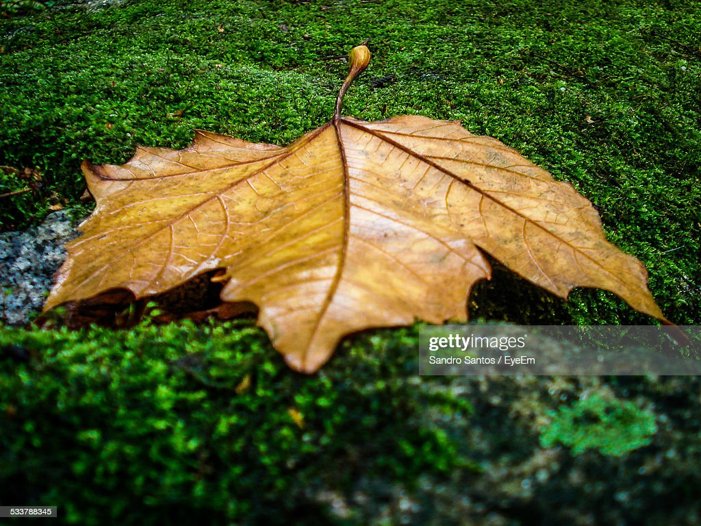 Close-Up Of Maple Leaf In Park : Foto stock