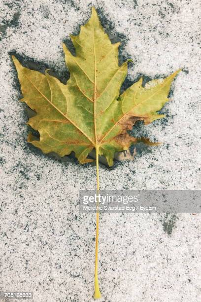 Close-Up Of Maple Leaf On Frozen Glass