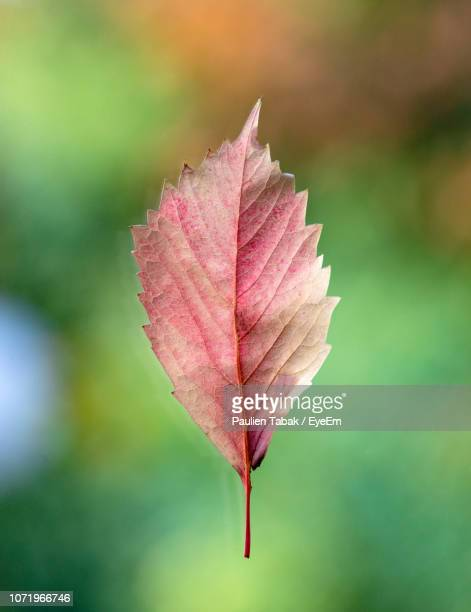 close-up of maple leaf on plant - paulien tabak stock pictures, royalty-free photos & images