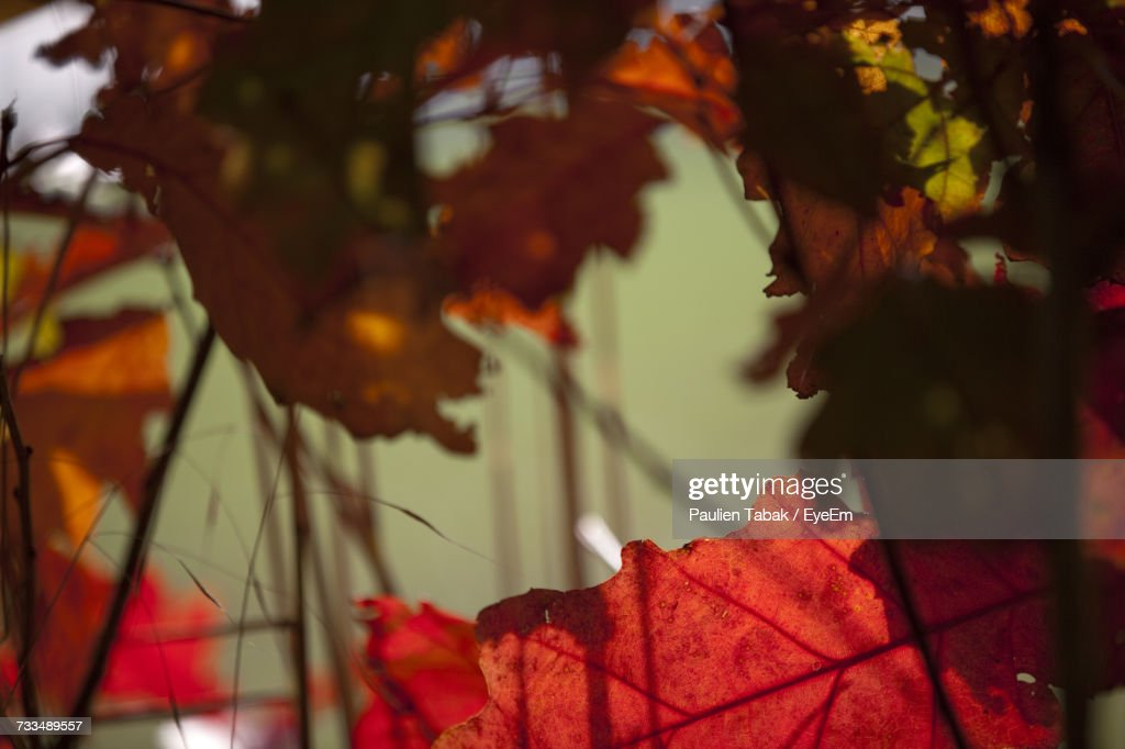 Close-Up Of Maple Leaf On Tree During Autumn : Stockfoto