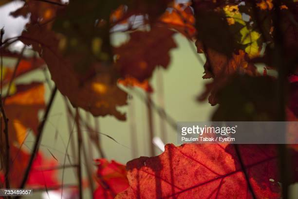close-up of maple leaf on tree during autumn - paulien tabak photos et images de collection