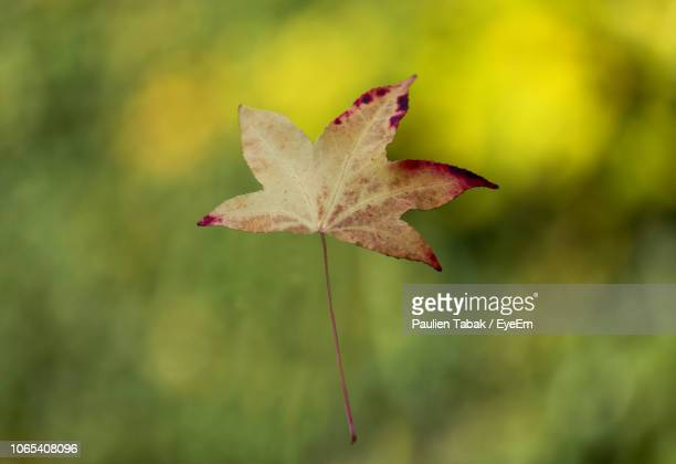 Close-Up Of Maple Leaf