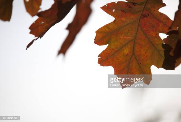 close-up of maple leaf - paulien tabak photos et images de collection