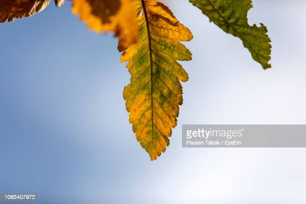 close-up of maple leaves against clear sky - paulien tabak stock-fotos und bilder