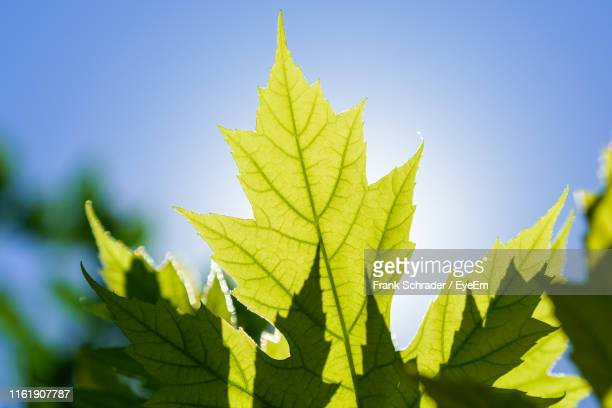 close-up of maple leaves against sky - frank schrader stock pictures, royalty-free photos & images