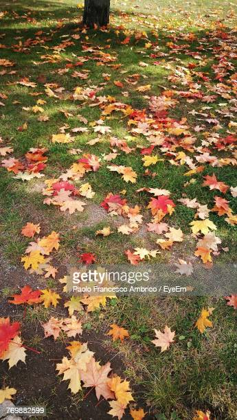 Close-Up Of Maple Leaves Fallen On Grass
