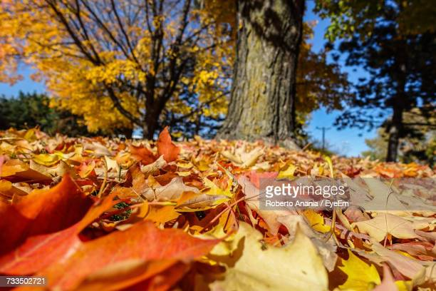 Close-Up Of Maple Leaves Fallen On Tree During Autumn