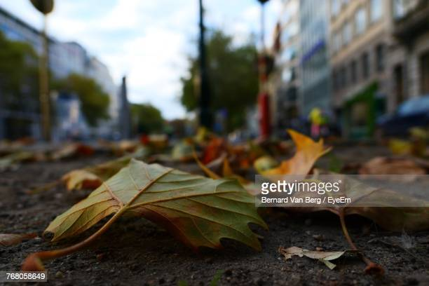 Close-Up Of Maple Leaves Fallen On Tree