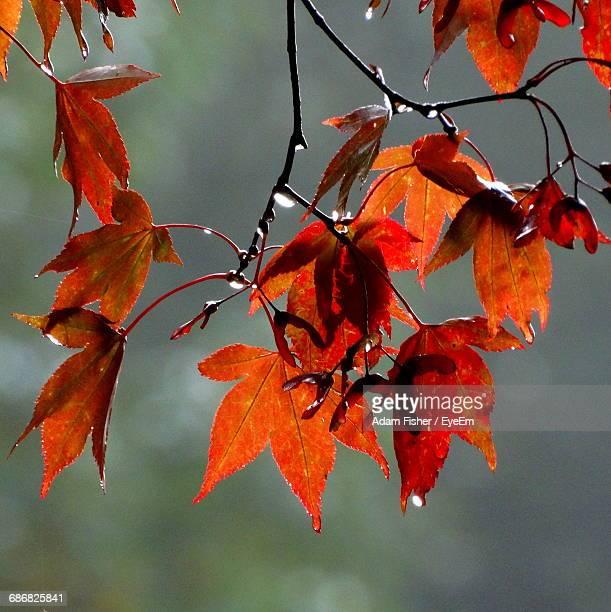 close-up of maple leaves on branch - adam rippon 2016 stock pictures, royalty-free photos & images