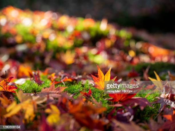 close-up of maple leaves on field,ijirino,japan - images ストックフォトと画像