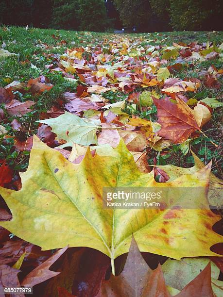 Close-Up Of Maple Leaves On Grassy Field