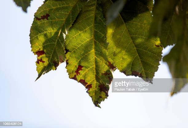 close-up of maple leaves on tree against sky - paulien tabak 個照片及圖片檔