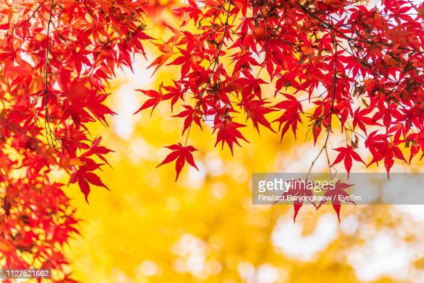 close-up of maple leaves on tree during autumn - 紅葉 ストックフォトと画像