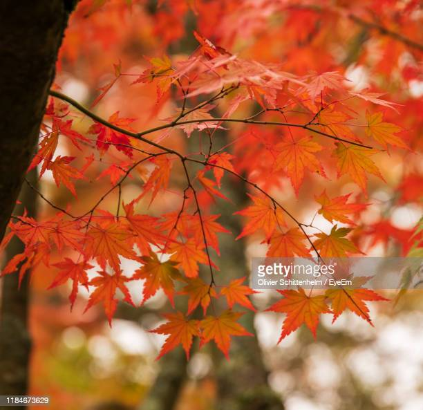close-up of maple leaves on tree during autumn - olivier schittenhelm photos et images de collection