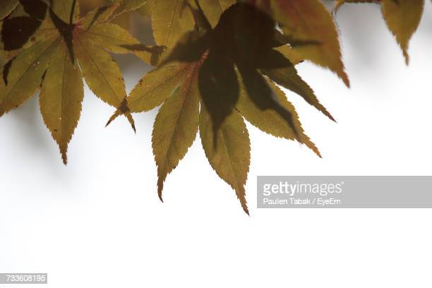 close-up of maple leaves on tree during autumn - paulien tabak foto e immagini stock
