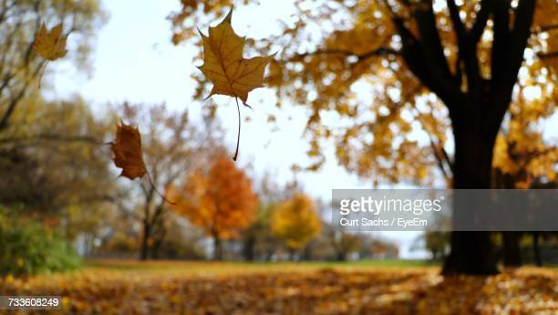 close-up of maple leaves on tree in forest - マーカム ストックフォトと画像