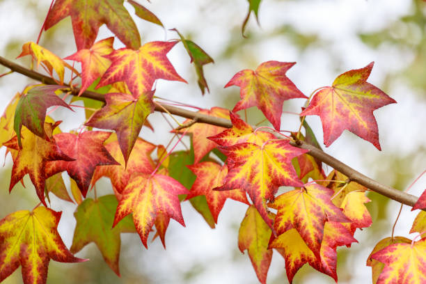 Close-Up Of Maple Leaves On Tree, Oi, Portugal