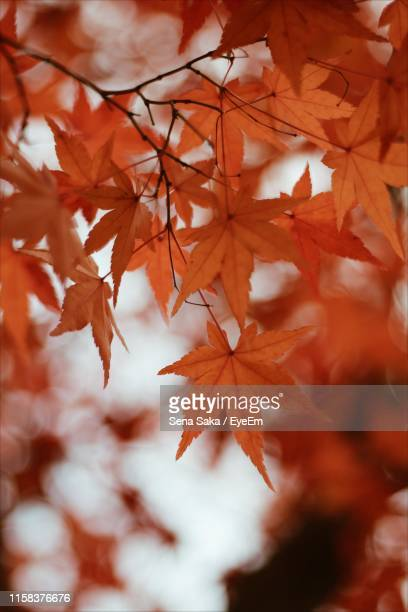 close-up of maple leaves on tree - saka stock pictures, royalty-free photos & images