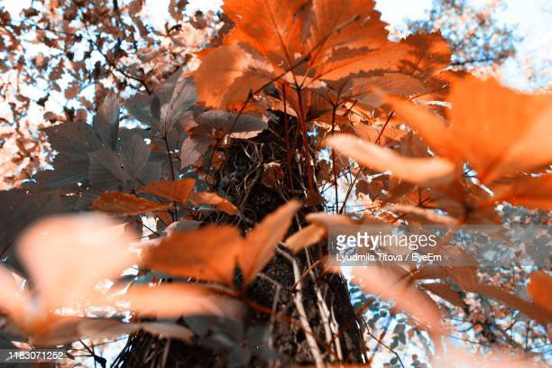 close-up of maple leaves on tree - focus on background stock pictures, royalty-free photos & images