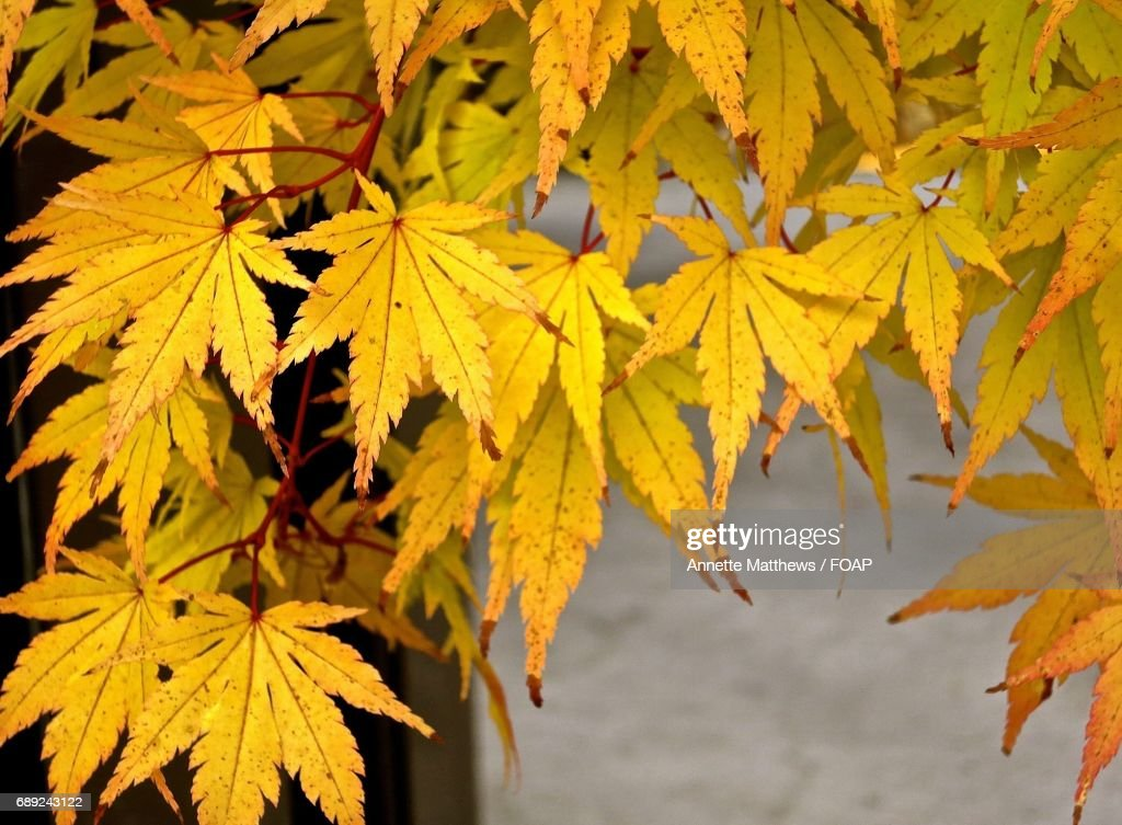 Close-up of maple leaves : Stock Photo
