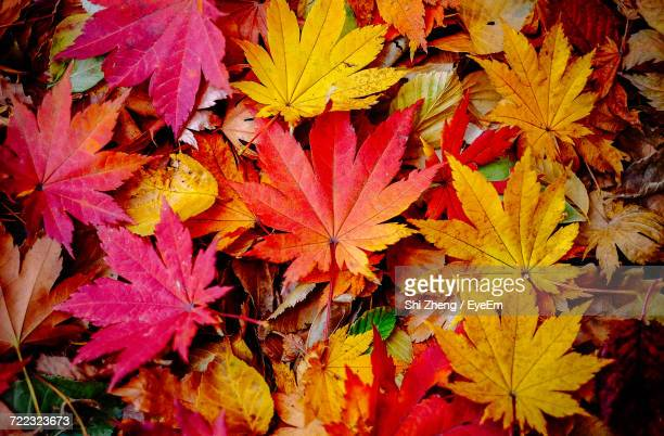close-up of maple leaves - fall background stock photos and pictures
