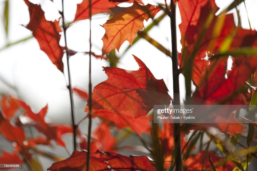 Close-Up Of Maple Leaves : Stockfoto
