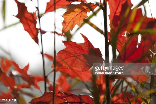 close-up of maple leaves - paulien tabak photos et images de collection