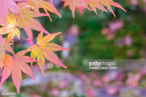 close-up of maple leaves - chanayut stock photos and pictures