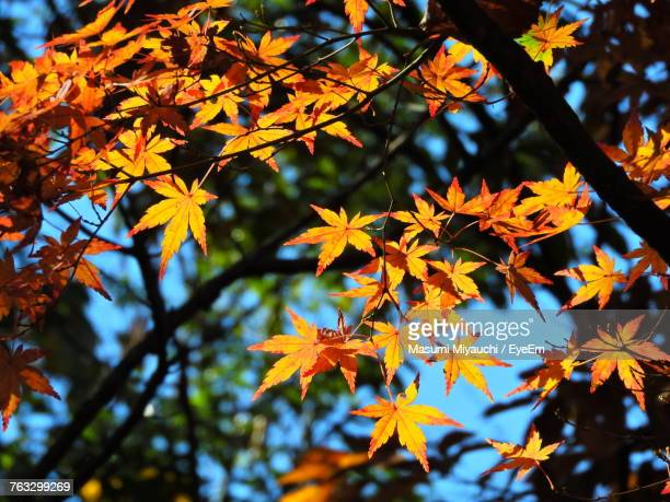 Close-Up Of Maple Tree During Autumn