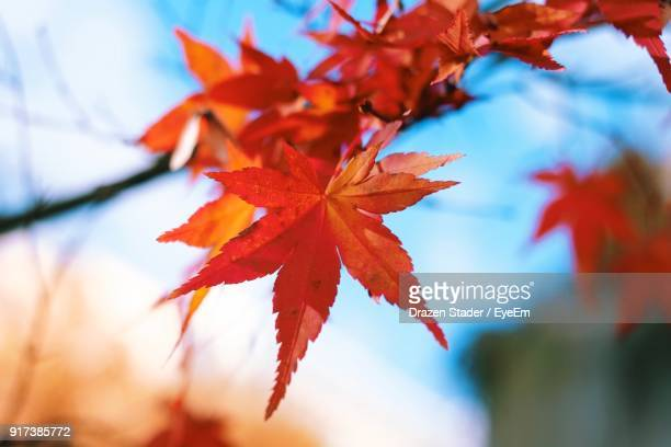 close-up of maple tree during autumn - drazen stock pictures, royalty-free photos & images
