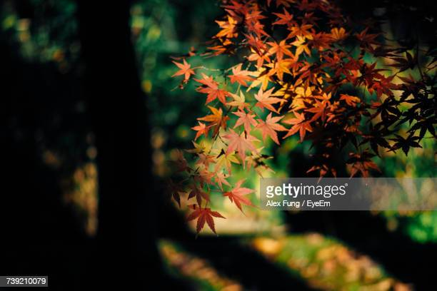 Close-Up Of Maple Tree In Forest During Autumn
