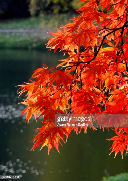 close-up of maple tree in lake during autumn - adam rippon 2016 stock pictures, royalty-free photos & images
