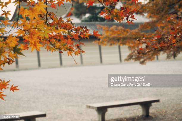 Close-Up Of Maple Tree In Park During Autumn