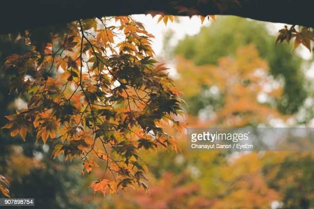 close-up of maple tree leaves during autumn - chanayut stock photos and pictures