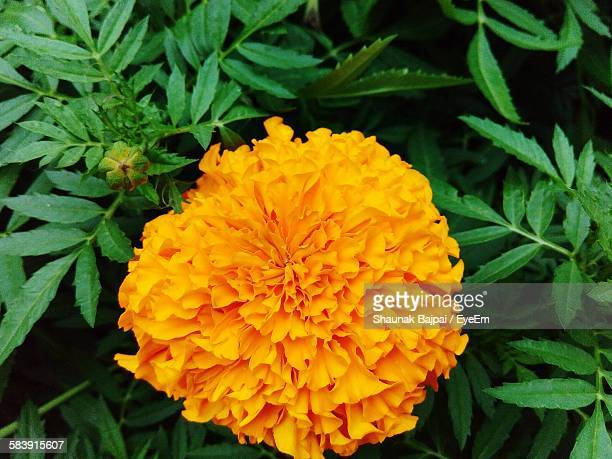 Close-Up Of Marigold Blooming In Yard