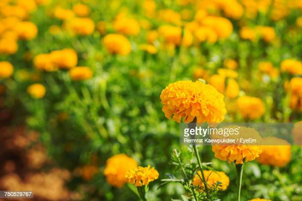 Close-Up Of Marigold Blooming Outdoors