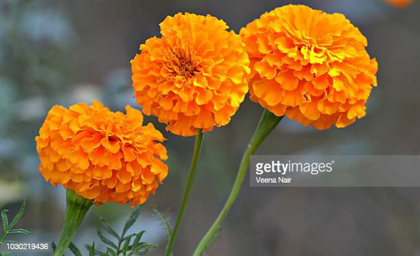 Close-up of Marigold flowers in the garden