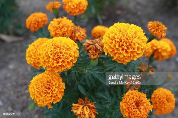close-up of marigold flowers - lantana stock pictures, royalty-free photos & images