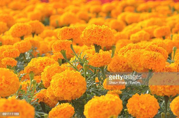 Close-Up Of Marigold Growing In Field