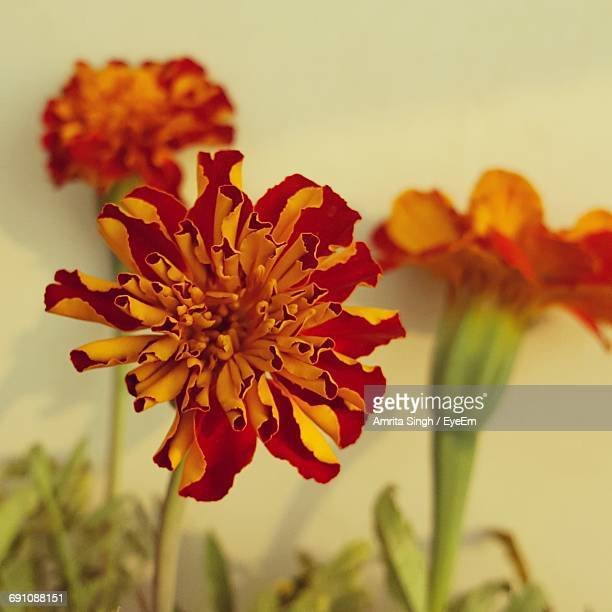 Close-Up Of Marigolds Blooming Outdoors