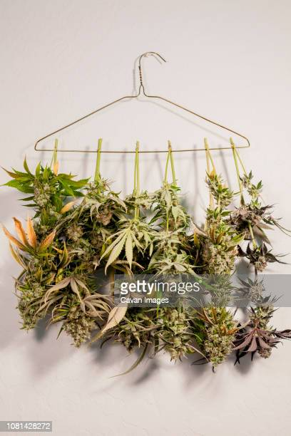 close-up of marijuana hanging on coathanger against wall - marijuana herbal cannabis stock pictures, royalty-free photos & images
